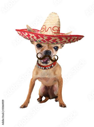 Fotografia, Obraz  mexican chihuahua dog
