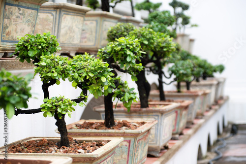 Spoed Foto op Canvas Bonsai Row of bonsai trees