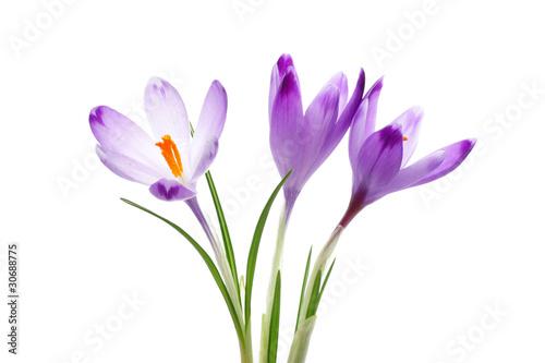 Cadres-photo bureau Crocus Crocus flowers