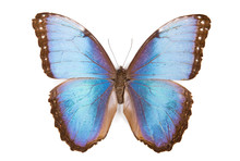 Black And Blue Butterfly Morph...