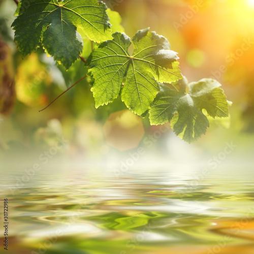 Plakaty rośliny   winogrono-liscie-nad-wodnym-tlem-zblizenie