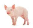 Leinwanddruck Bild - Pig