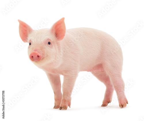 Fotografia, Obraz Pig