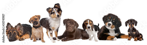 Poster Chien large group of puppies on a white background