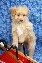 Pomapoo Designer Puppy