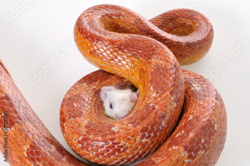 Corn Snake (Elaphe guttata) trapping a white mouse - Buy