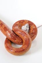 Corn Snake (Elaphe Guttata Trapping A White Mouse