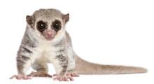 Fat-tailed Dwarf Lemur, Cheirogaleus Medius, 11 Years Old
