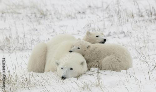 In de dag Ijsbeer Polar she-bear with cubs.