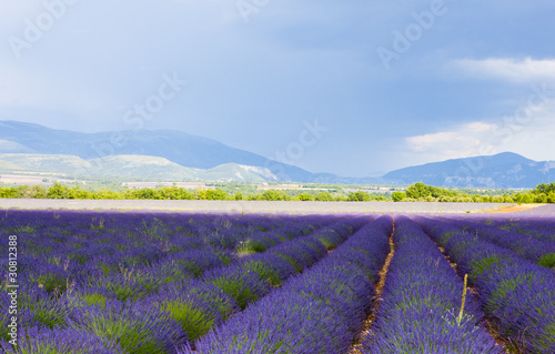In de dag Lavendel lavender field, Plateau de Valensole, Provence, France