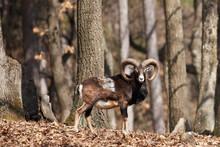 Mouflon Male In Forest