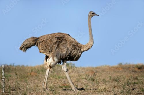 Staande foto Struisvogel Female ostrich