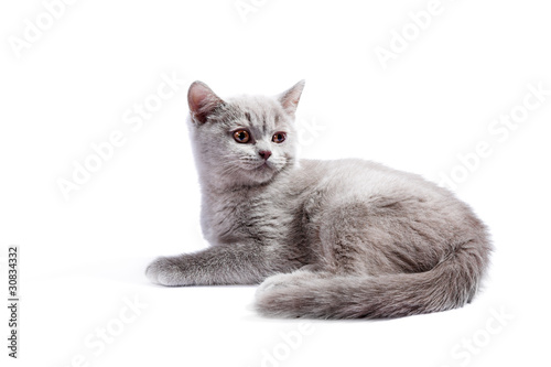 Fototapeta British kitten obraz