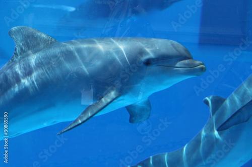 Fototapety, obrazy: Delfin