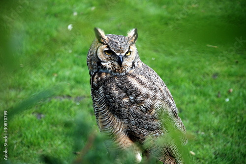 Photo Stands Owl American oehoe owl