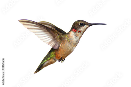 Isolated Ruby-throated Hummingbird Poster Mural XXL