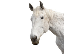 Beautiful White Horse On A White Background