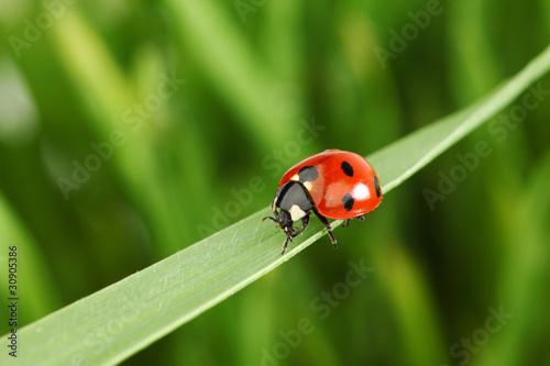 Fotobehang Macrofotografie ladybug on grass