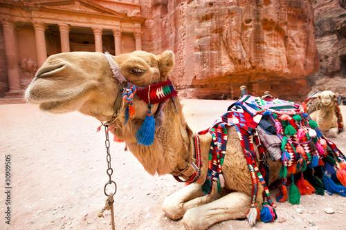 Fotografie, Obraz  Bedouin camel rests near the Al Khazneh at Petra,  Jordan