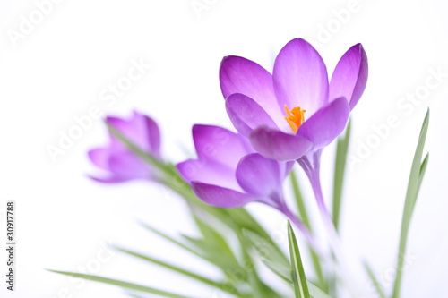 Türaufkleber Krokusse Zarte Frühlingsblumen auf weißem Hintergrund
