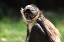 Geoffroy's Spider Monkey (Atel...
