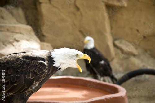 Photo  Eagle in nature scream close-up