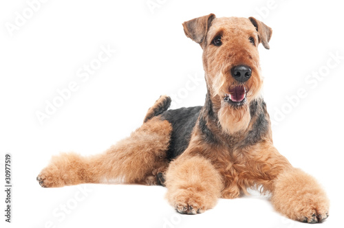 Airedale Terrier dog isolated Canvas Print