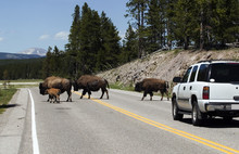 Bisons On The Road