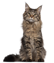 Maine Coon Cat, 7 Months Old, Sitting