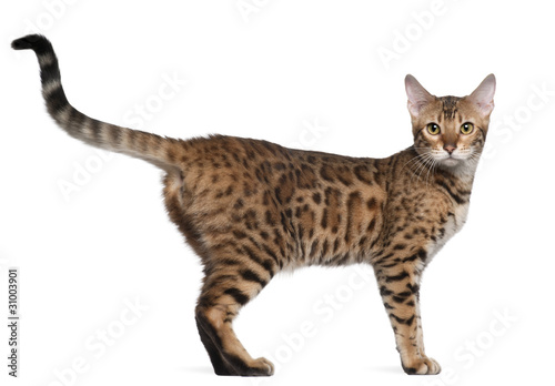 Bengal cat, 7 months old, standing in front of white background Canvas Print