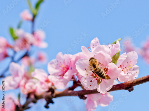 Poster Bee peach flower