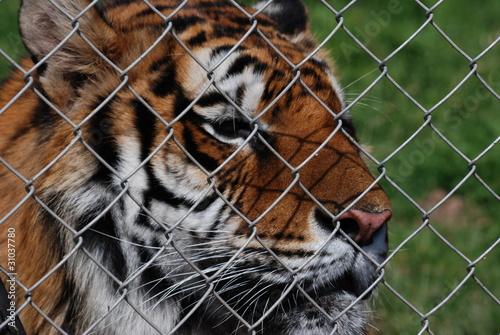Fotografie, Obraz  tigre