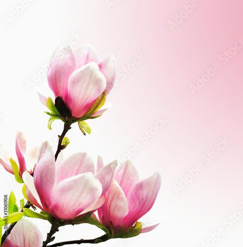 Foto op Plexiglas Magnolia Spring Blossoms of a Magnolia tree