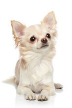 Long Coat Chihuahua On A White...