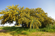 Blossoming Mimosa Tree In Portugal In Springtime