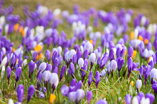 Fototapety, obrazy: Mixed crocuses growing happily in the grass
