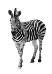 Fototapeta Zoo single burchell zebra isolated on white background
