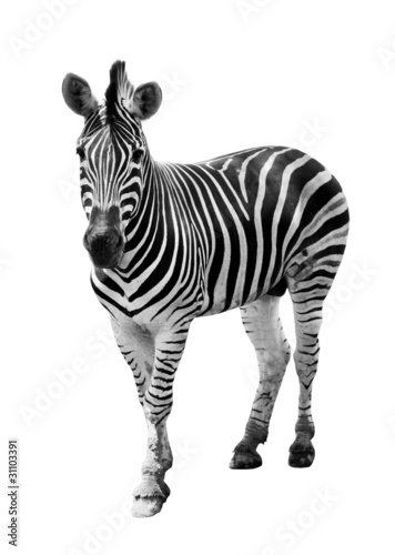 Foto op Canvas Zebra Zoo single burchell zebra isolated on white background