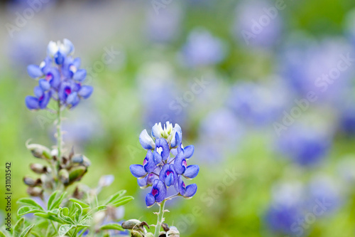 Poster Texas Texas Bluebonnet against a field of bluebonnets
