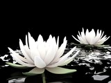 3d lotus on water