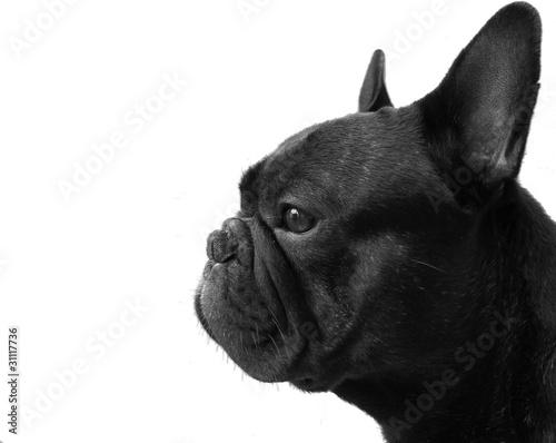 Bouledogue français chien profil noir et blanc bw nb