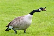 Hissing Canada Goose