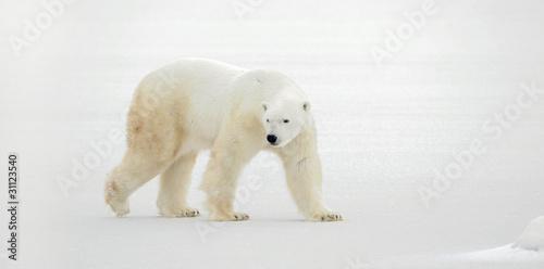 Poster Polar bear Polar bear