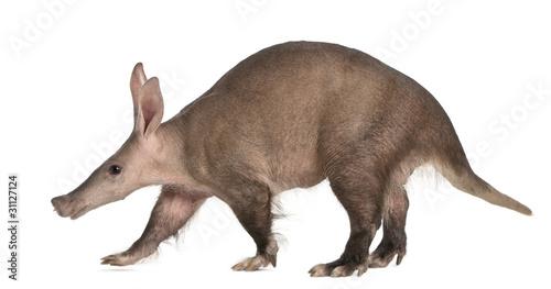 Fototapeta Aardvark, Orycteropus, 16 years old, walking obraz