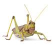 Giant Grasshopper, Tropidacris collaris
