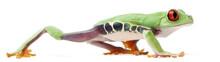 Red-eyed Treefrog, Agalychnis ...