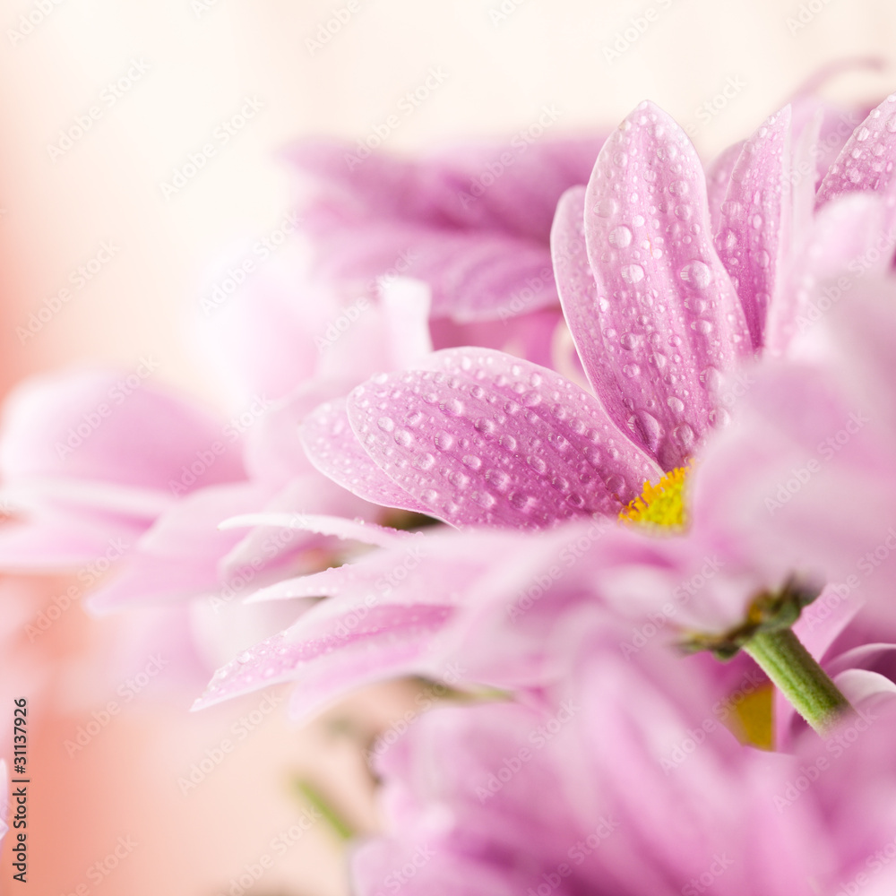 Fototapeta Delicate pink daisies close up