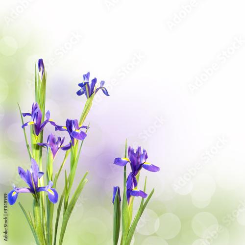 Poster Iris Iris bleus, fond pastel