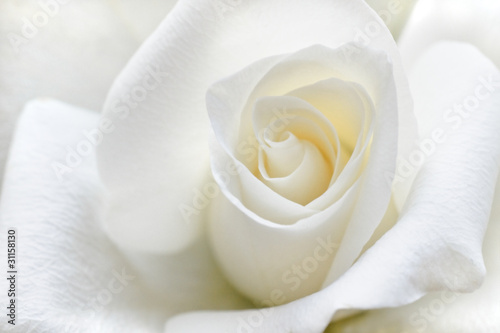 Soft white rose #31158130