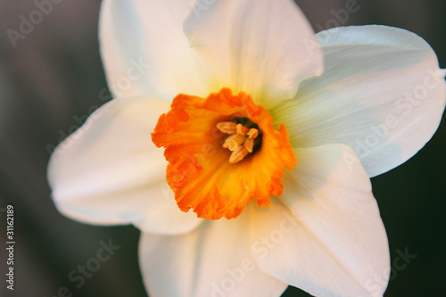 Recess Fitting Narcissus Narcis